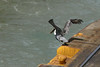 BROWN PELICAN - Panama Canal - Dec. 2012
