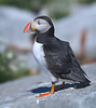Perky Precious Posed Puffin Profile