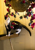 Tuxedo cat on broom 9719