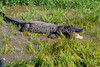 American Alligator, Alligator mississippiensis, Controlled Conditions