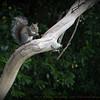 Back yard squirrel