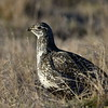 Sage Grouse, female, near Craig Colorado.