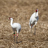 Banded whooping cranes at Goose Pond
