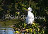 snowy egret in tree-print_5215