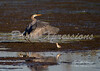 great blue egret-print_4704