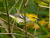 Black-throated Green Warbler, one of a migrating pair that stopped in the yard. 9/15/13