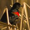 Redwinged Blackbird in habitat