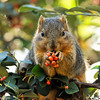 Happy Holidays! A squirrel enjoying the berries of a Cotoneaster bush.