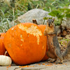 A Fox Squirrel caught in the act of eating a pumpkin, which was part of a Fall display at Descanso Gardens