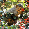 A Fox Squirrel enjoying the berries of a Cotoneaster bush.