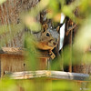 A Fox Squirrel hanging out on the munch box in my backyard