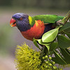 Poised Rainbow Lorikeet