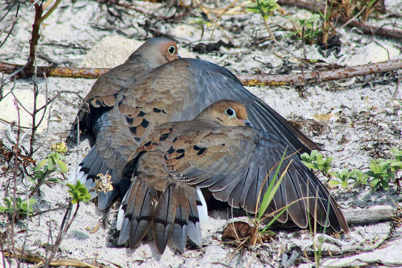 Doves on the beach (Florida)