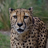 Male Cheetah- The Houston Zoo