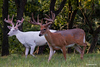 2 BUCKS, ONE IS A ALBINO