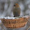 Pine Grosbeak, January 2