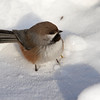 Boreal Chickadee, January 2