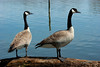 Two Canada Geese On a Log
