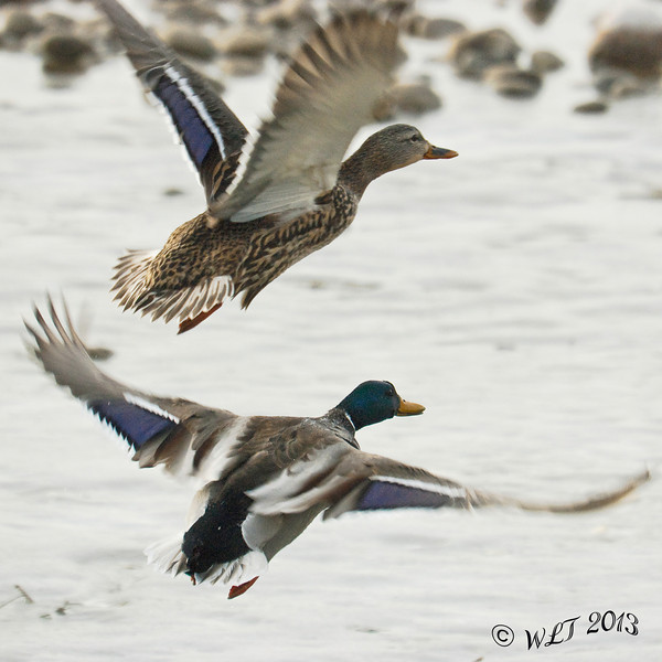Pair of Mallards Take to Flight
