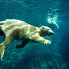 Polar Bear (Ursus maritimus), pair swimming underwater, native to pan-arctic