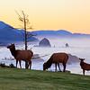 09 Feb 2011, Oregon, USA --- Elk at sunrise, Ecola State Park and Haystck Rock, Oregon Coast --- Image by © Craig Tuttle/Corbis