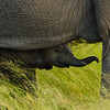 Chobe National Park, Botswana --- An African elephant calf stands under its mother. --- Image by © Ocean/Corbis