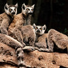 Madagascar --- Ring-Tailed Lemurs on Log in Berenty Reserve --- Image by © Frans Lanting/Corbis