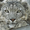 Snow Leopard (Uncia uncia), portrait, endangered species native to mountainous regions of central Asia