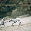 Dalmatian (Canis familiaris), two puppies playing on a sandy beach, Japan