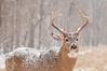 Ten point buck in snow storm