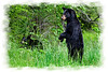 Black Bear standing upright