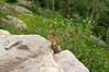 A Chipmunk stands tall for the camera; just below Dream Lake, Rocky Mountain National Park, Colorado.