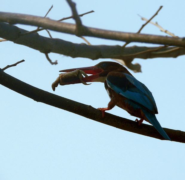 White-throated/white-breasted kingfisher (Halcyon smyrnensis) with crab.
