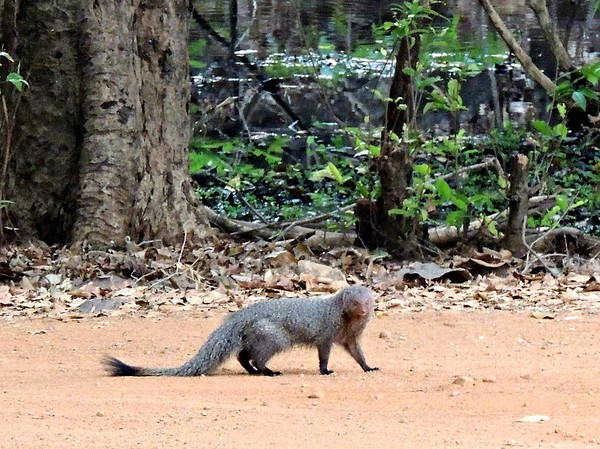 Ruddy mongoose (Herpestes smithii smithii), distinguishable from the grey mongoose by its black-tipped tail. It's a jungle dweller that hunts and devours snakes.