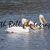 Two American White Pelican Swimming