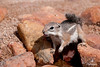 Antelope Squirrel Arizona