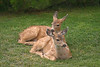 Two fawns were resting on a grass lawn as they took a break from grazing. They nestled together maybe as a way to get a sense of extra protection.