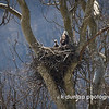 04.06.13 = The eagles nest in southeastern Ohio along St. Rt. 53.   There are 3 eaglets in the nest and you can see one looking around.