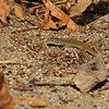 A young Alligator Lizard amongst Autumn leaves