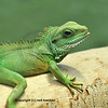 a brilliant green iguana (physignatus coccincinus) relaxing in the sun