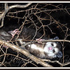 Midnight Marauder  Checked on the mail after dark and heard a noise above me. Went and got my camera and there she was. Second time I've found a possum in my crepe myrtle tree.