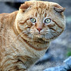 Catzilla  Scottish fold cat