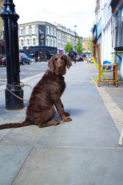 Dog waits for owner outside coffee shop.
