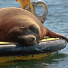 Sleeping Steller Sea Lion