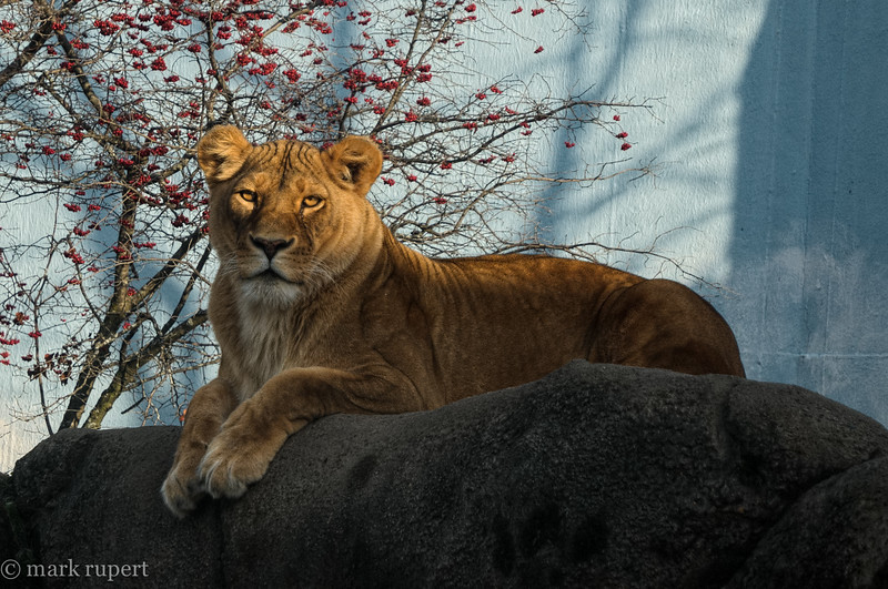 lioness in afternoon
