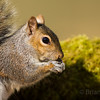 Grey Squirrel 5