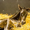foal birth 2/20/13