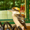 Kookaburra waits for a feed at a pub in country New South Wales, Australia.