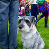 Schnauzer at Aberdeen Highland Games.
