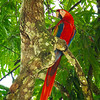 Wild Scarlet Macaw in Costa Rica.